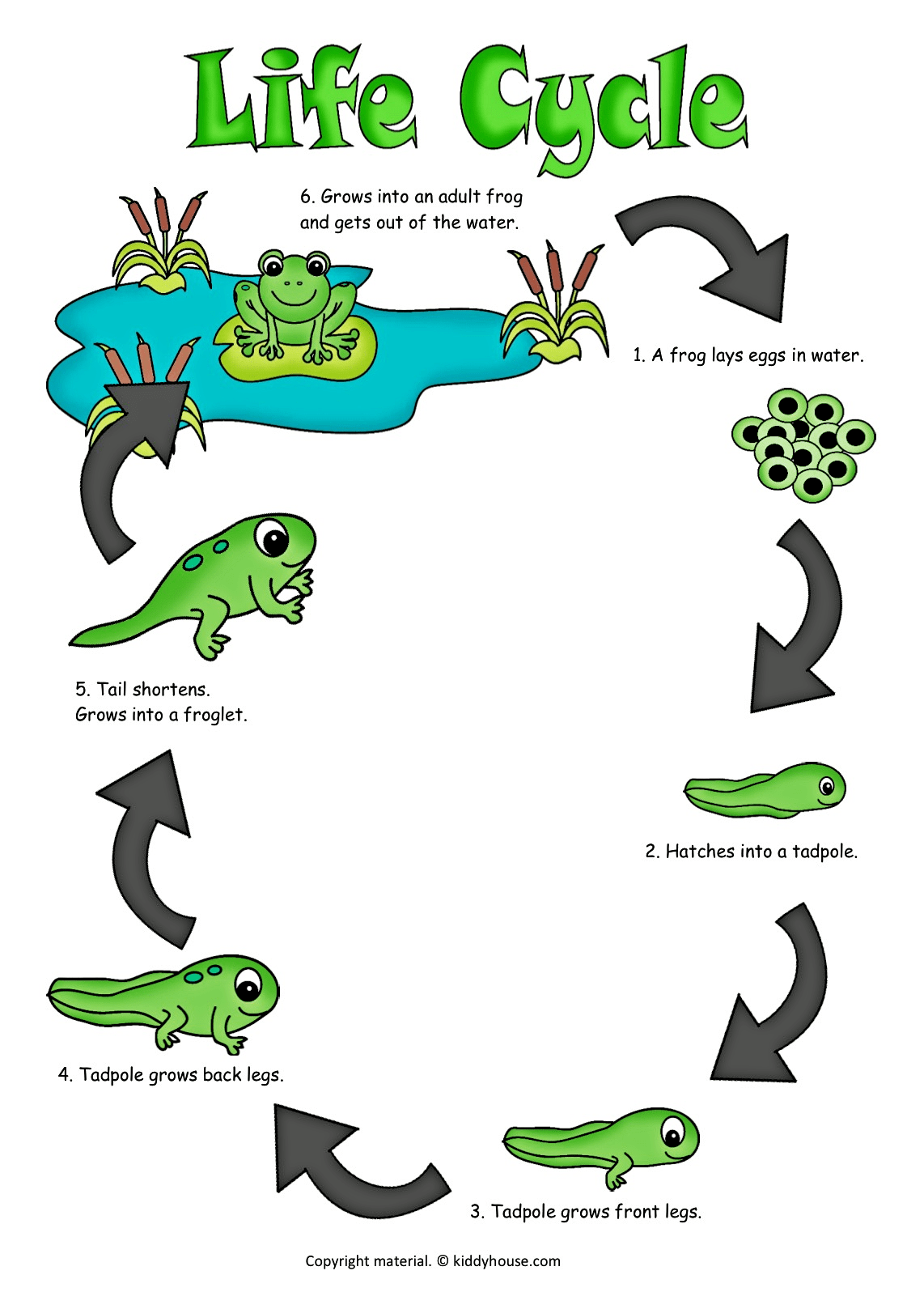 1142x1617 Life Cycle Of A Frog Color Poster