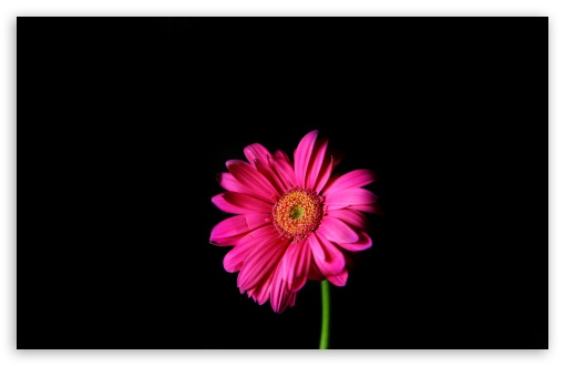 510x330 Daisy Clipart Hot Pink Free Collection Download And Share Daisy