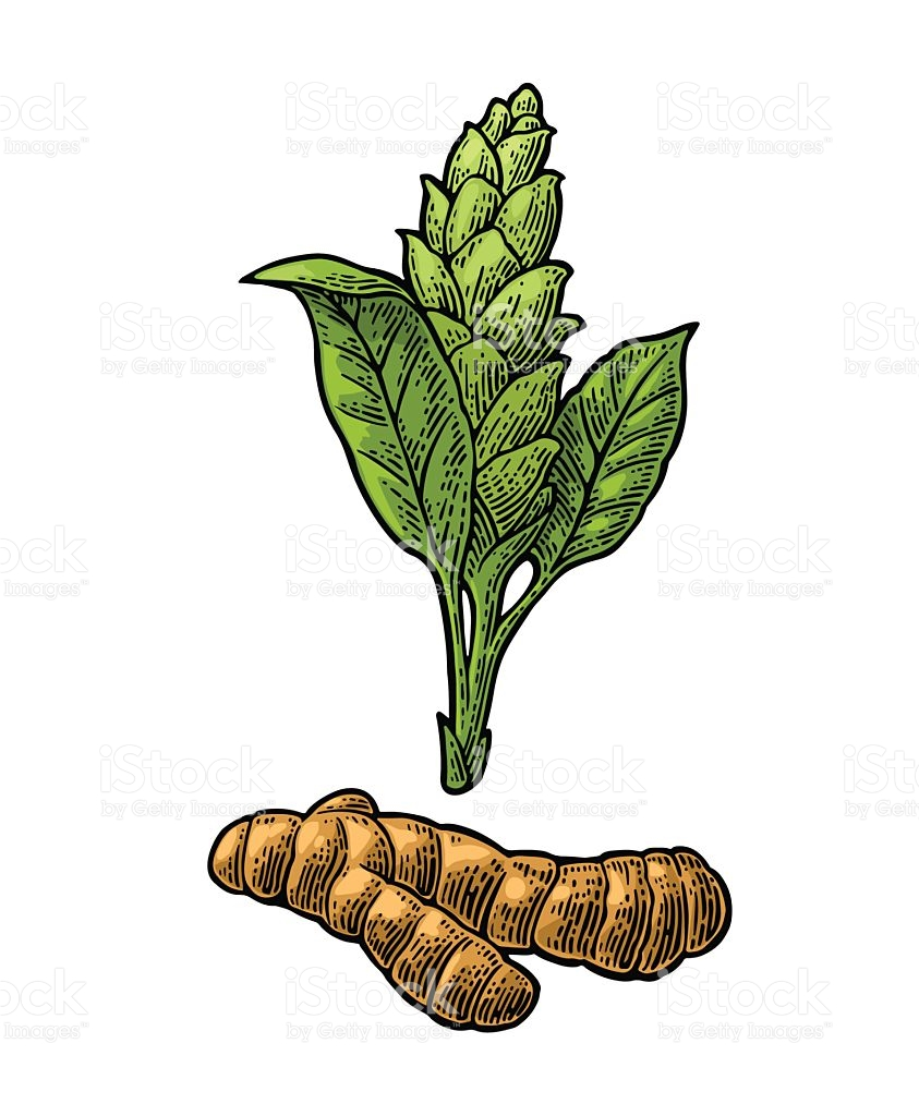 843x1024 Turmeric Clipart Ginger Plant