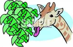 300x195 Giraffe Eating Leaves