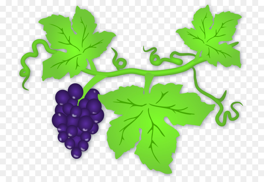 900x620 White Wine Common Grape Vine Clip Art