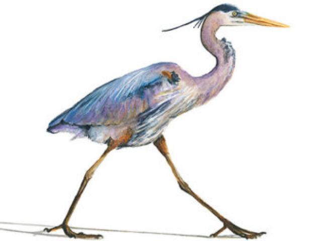 640x480 Great Blue Heron Clipart Black And White