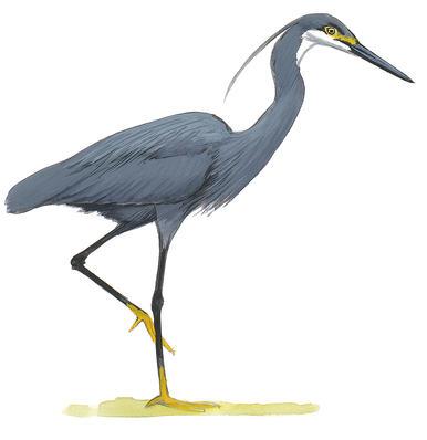 386x398 Herons, Egrets, Bitterns Audubon