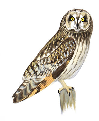 329x400 Great Grey Owl Clipart