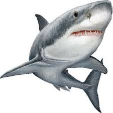 225x225 Resultado De Imagem Para Desenho White Sharks