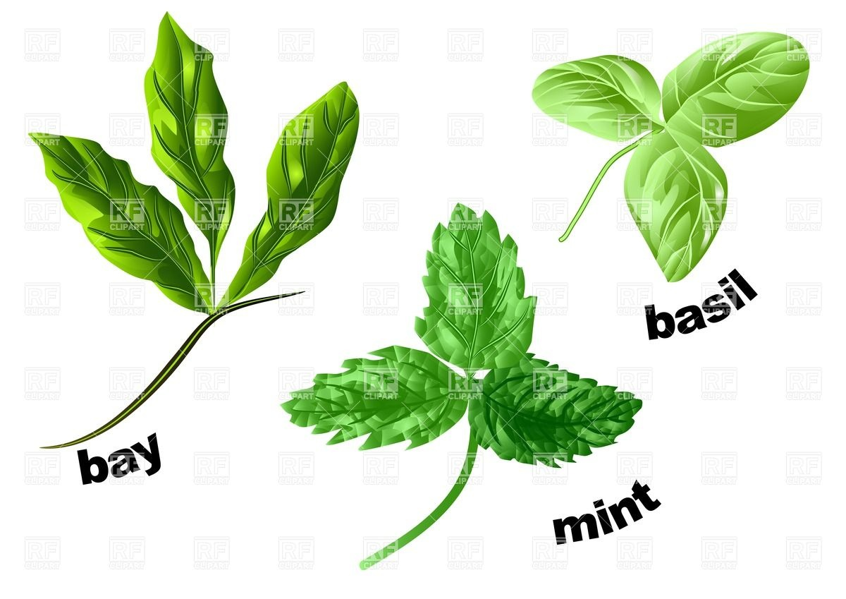 1200x849 Herbs Mint, Basil And Bay Isolated On A White Vector Image