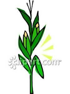 225x300 Corn Grass Clipart