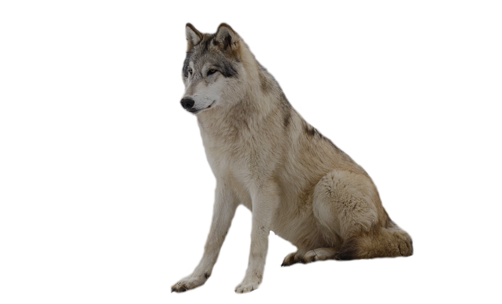 1024x621 List Of Synonyms And Antonyms Of The Word Transparent Wolf