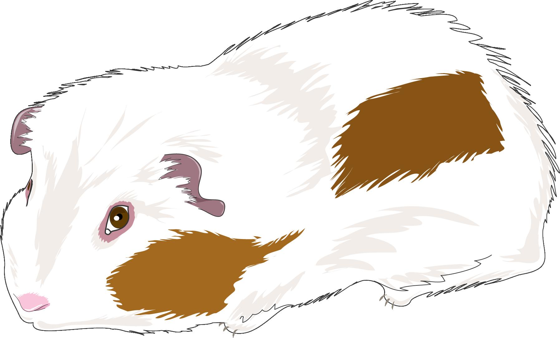 1796x1086 Guinea Pig