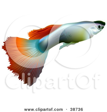 450x470 Clipart Illustration Of A Millionfish Or Guppy (Poecilia