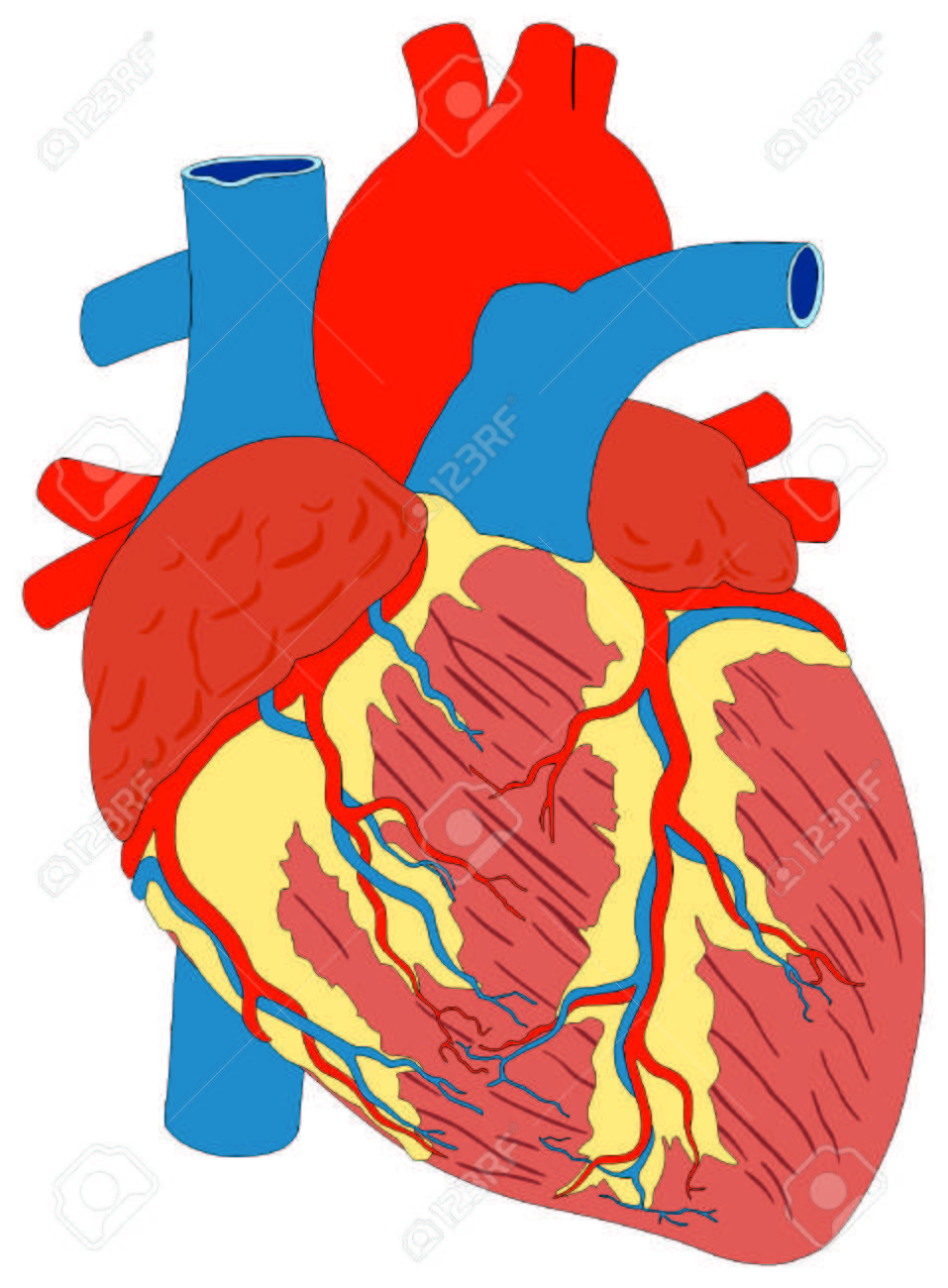 957x1300 Unlabeled Heart Diagram