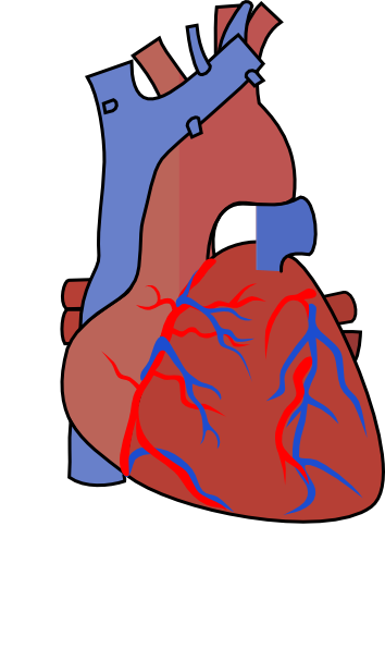 354x596 Heart Diagram Vein Clip Art