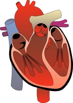 300x425 Heart Medical Diagram Clip Art Clipart Panda