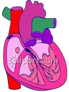 225x300 Human Heart Clip Art Clipart Panda