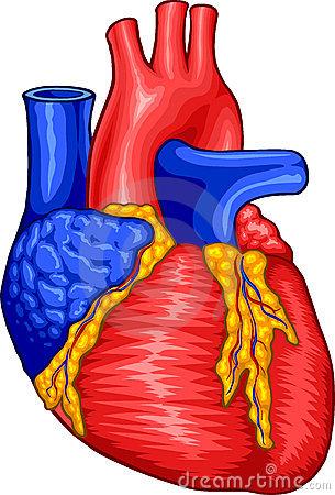 305x450 Human Heart Clip Art Vector Free Clipart Images