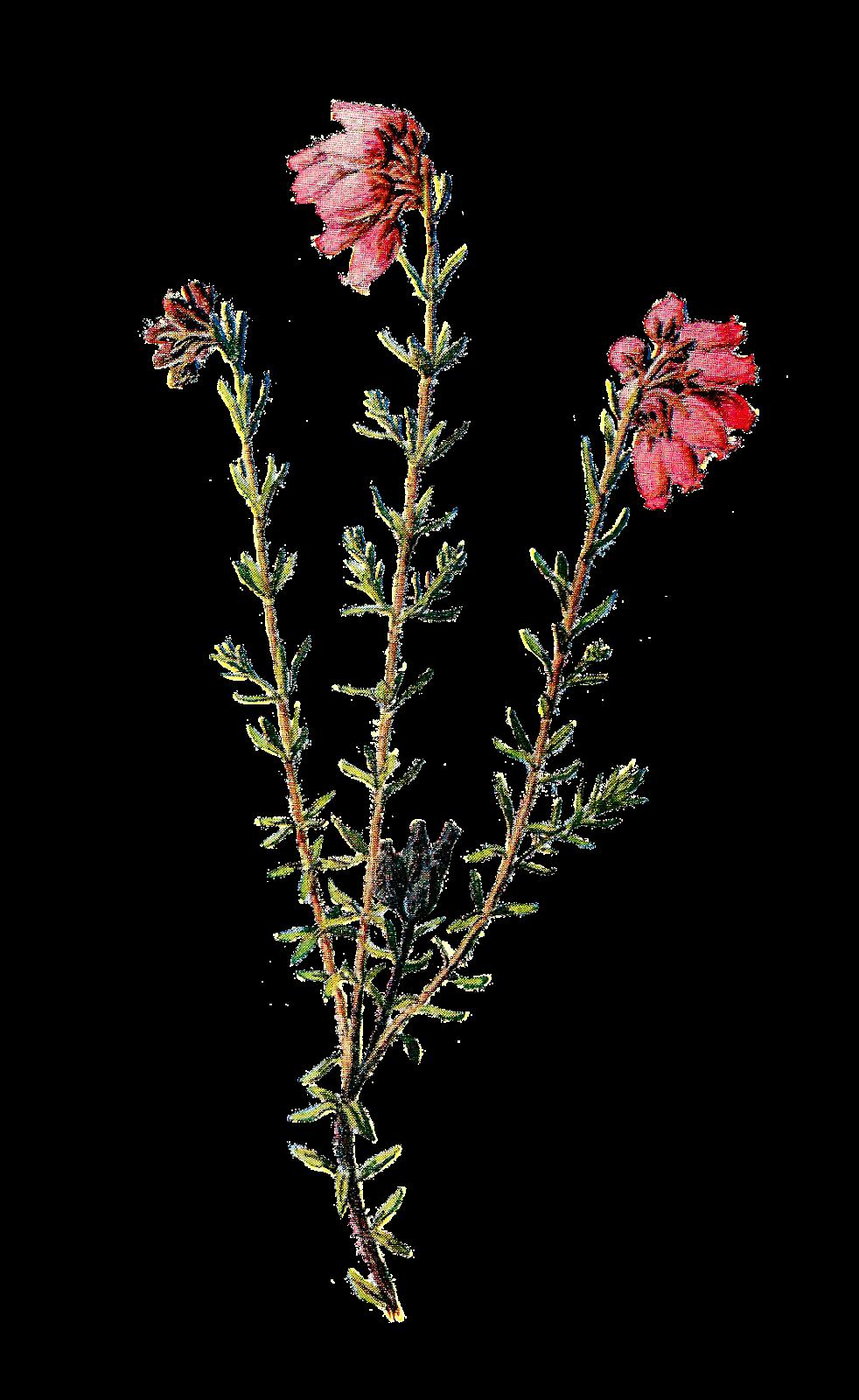 982x1600 Antique Images Vintage Scrapbooking Wildflower Clip Art Of Flower