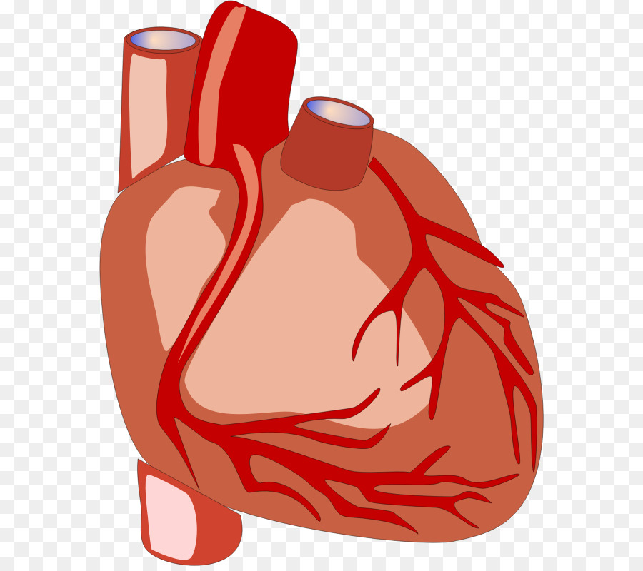 900x800 Heart Anatomy Human Body Organ Clip Art