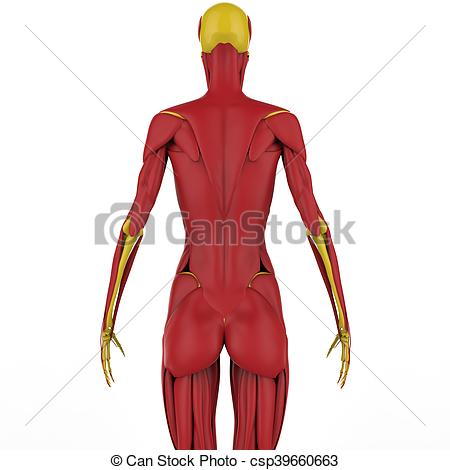 450x470 3d Illustration Of Human Muscle Body Anatomy Stock Illustration