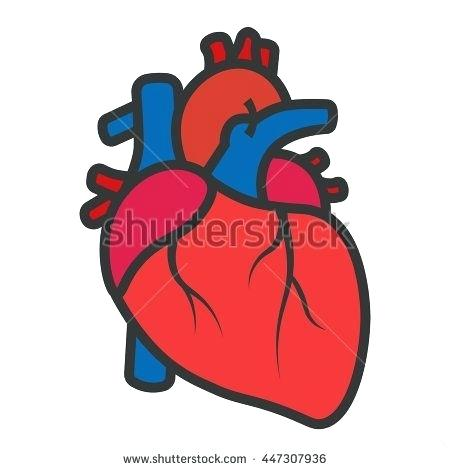450x470 Anatomical Heart Clip Art Best Of Real Heart Human Heart Drawing