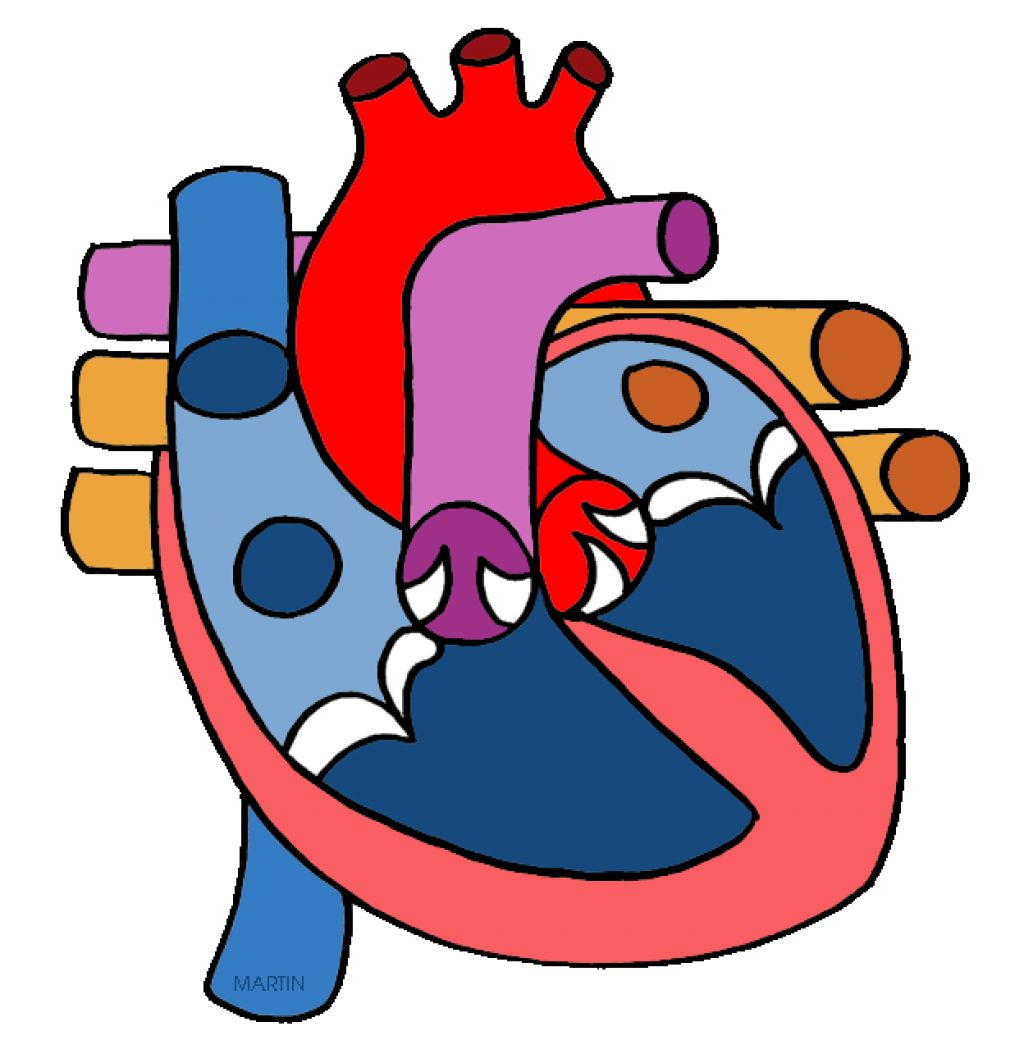 1024x1063 Human Heart Images With Parts Clipart Image Of Circulatory System