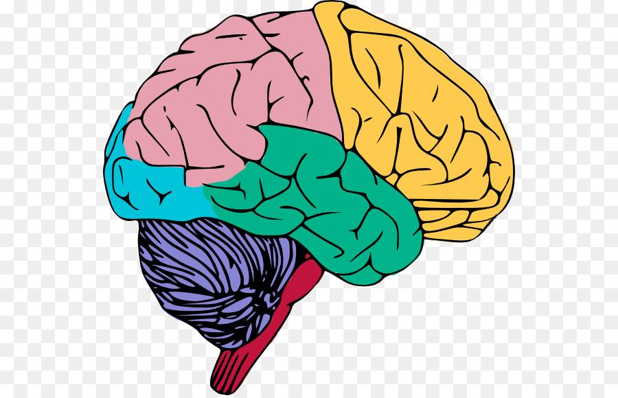 900x580 Human Brain Clip Art