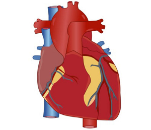 Human body clipart at getdrawings free for personal use human 300x258 28 collection of heart diagram clipart high quality free ccuart Images
