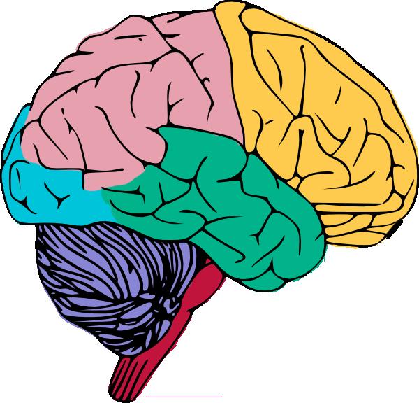 600x576 Human Brain Clipart For Kids