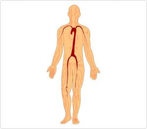 300x263 Cliparts Of Human Body