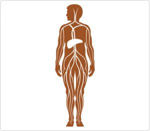300x262 Free Clip Art Human Body Outline