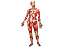 220x165 Human Body Clip Art Human Body Clipart Panda Free Clipart Images