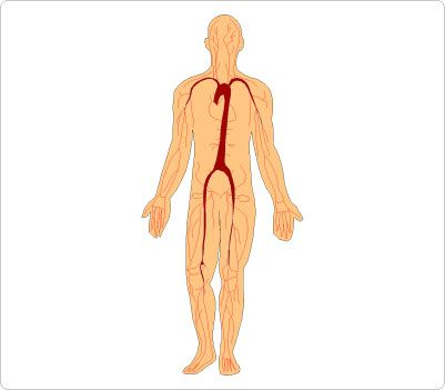 Human Body Organs Clipart