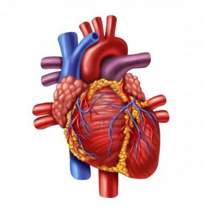 721x750 Real Heart Real Human Heart Clip Art Library