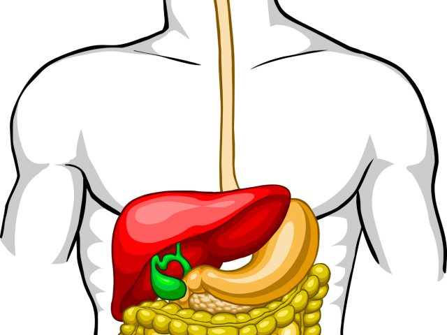 640x480 Simple Digestive System Diagram In Color Digestive System Clip Art