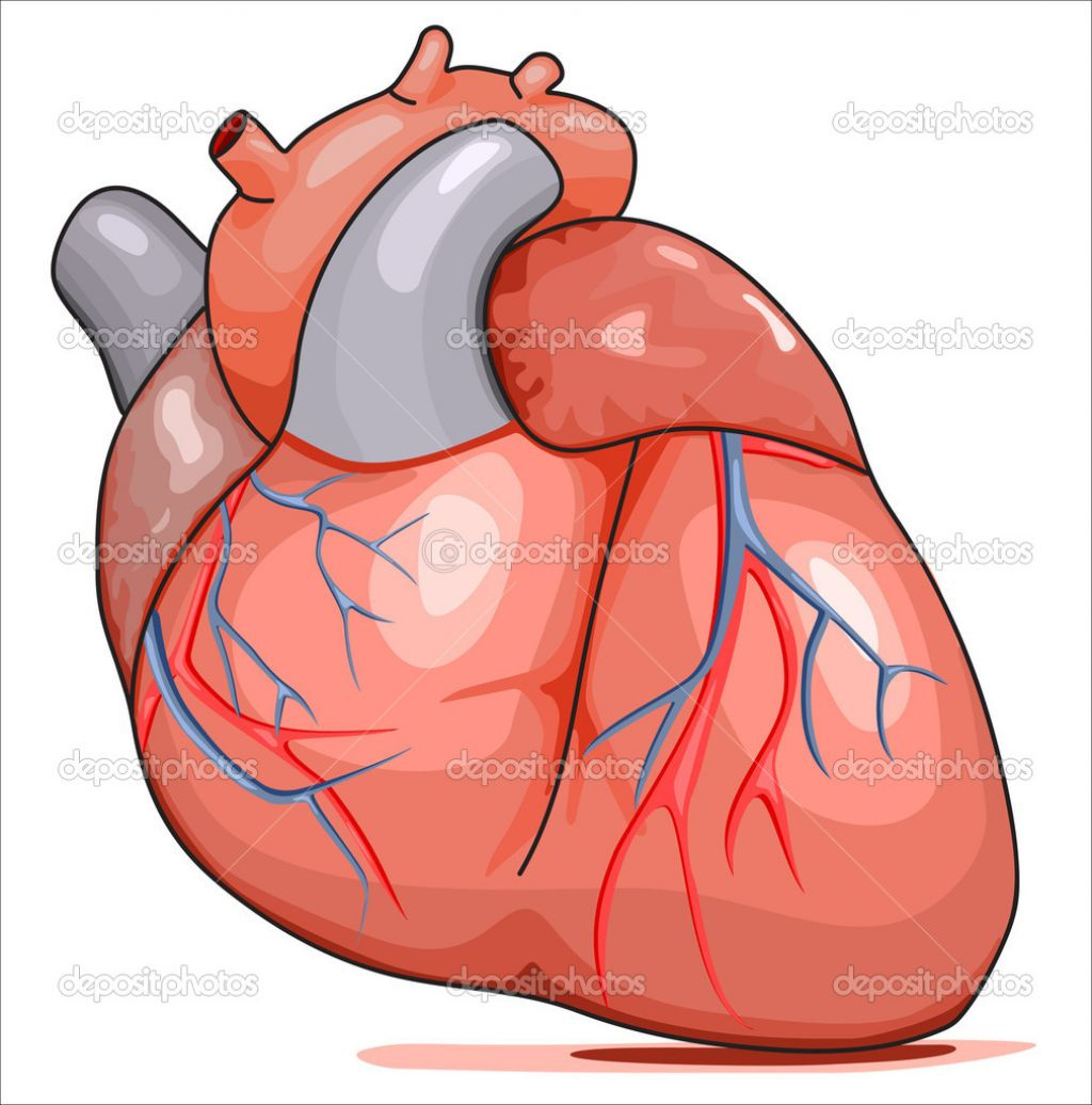 1024x1036 Human Heart Images With Parts Clipart Image Of Circulatory System
