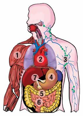 283x395 Teaching Human Body Systems To First Graders New Teaching Era