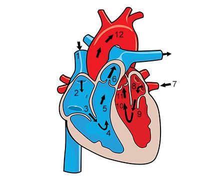 430x379 Circulatory System Essay Functions Of The Circulatory System You