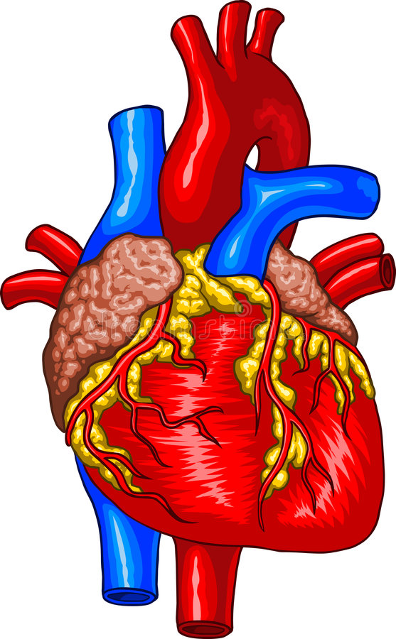 Human Heart Clipart At Getdrawings Free For Personal Use Human