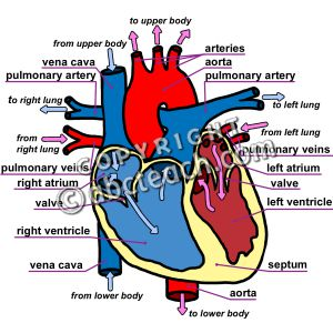 300x300 Labeled Human Heart Clipart