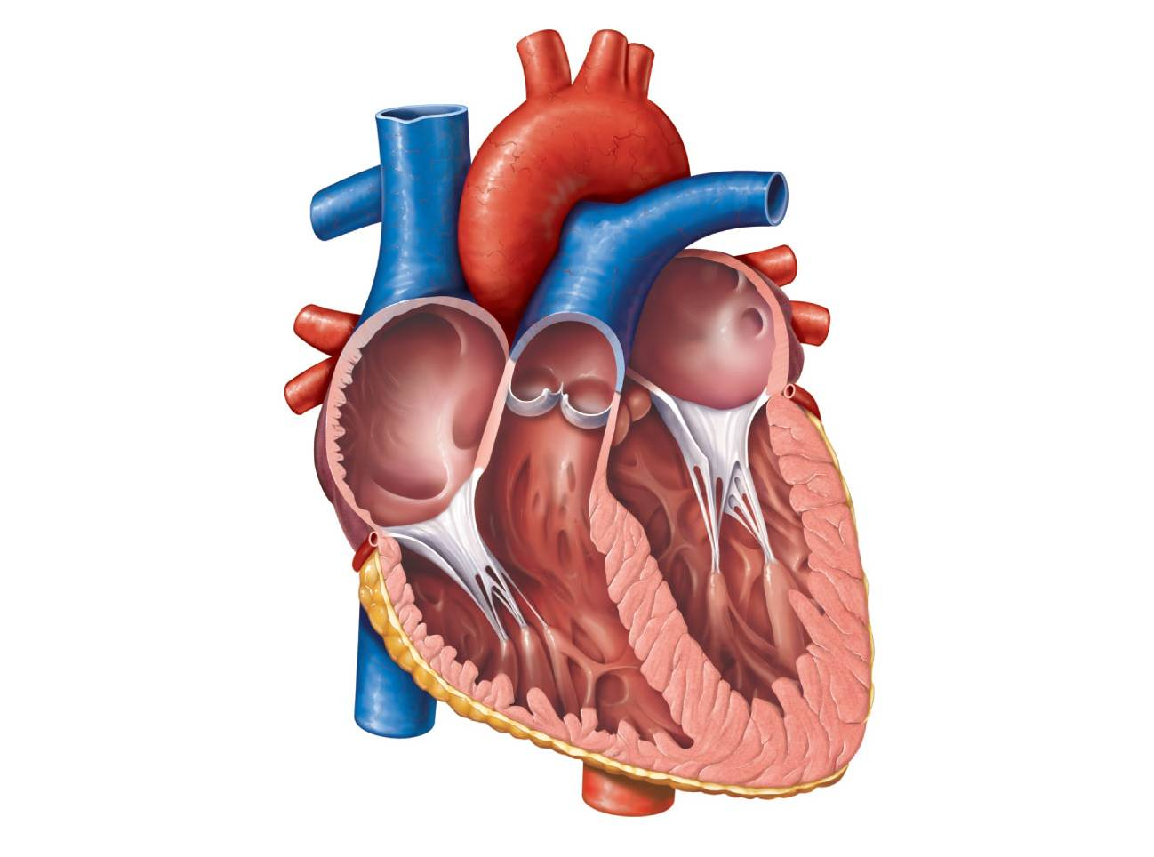 Human Organs Clipart at GetDrawings.com | Free for personal use ...