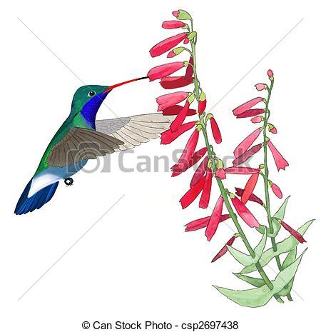 450x465 Broad Billed Hummingbird Male Cynanthus Latirostris At Stock
