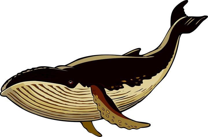 720x475 Blue Whale Clip Art Blue Whale Clip Art Whale Watching