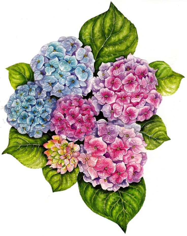 736x930 201 Best Printables Hydrangea Images On Etchings