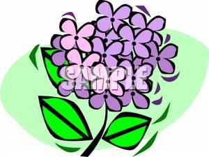 300x225 Hydrangea Blossom