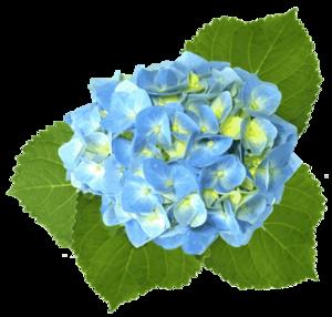 300x286 Blue Hydrangea Free Images