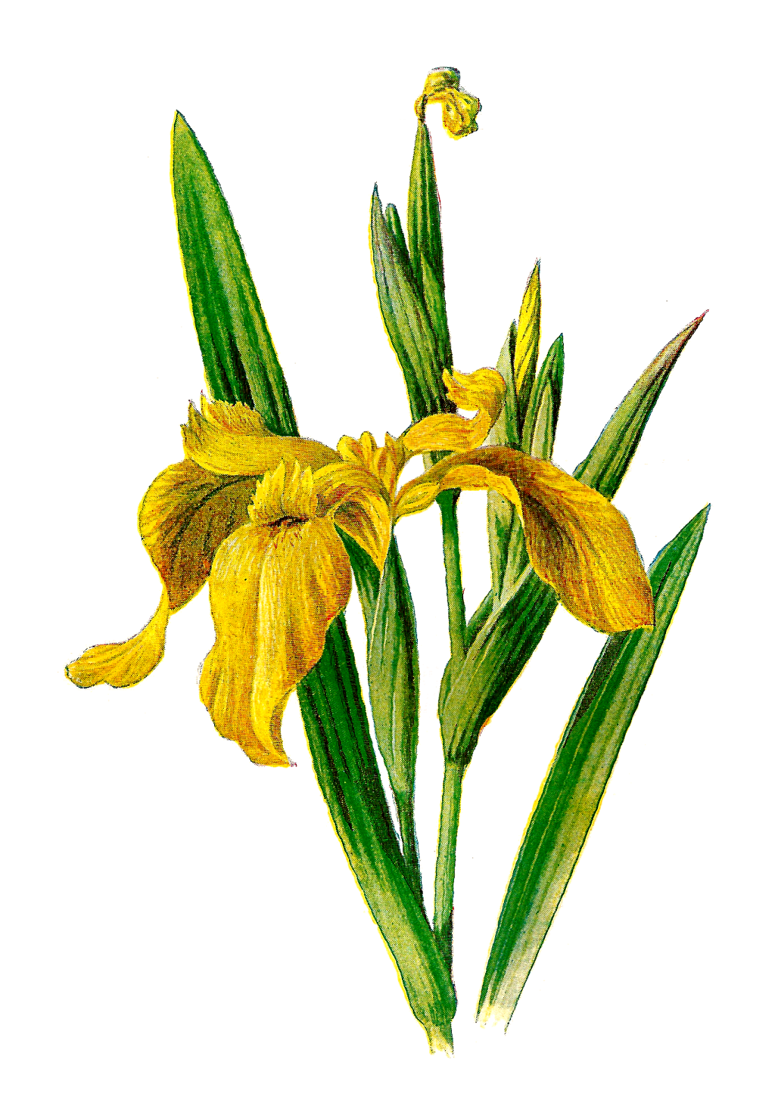 1119x1600 Antique Images Printable Flower Clip Art Wildflower Yellow Iris