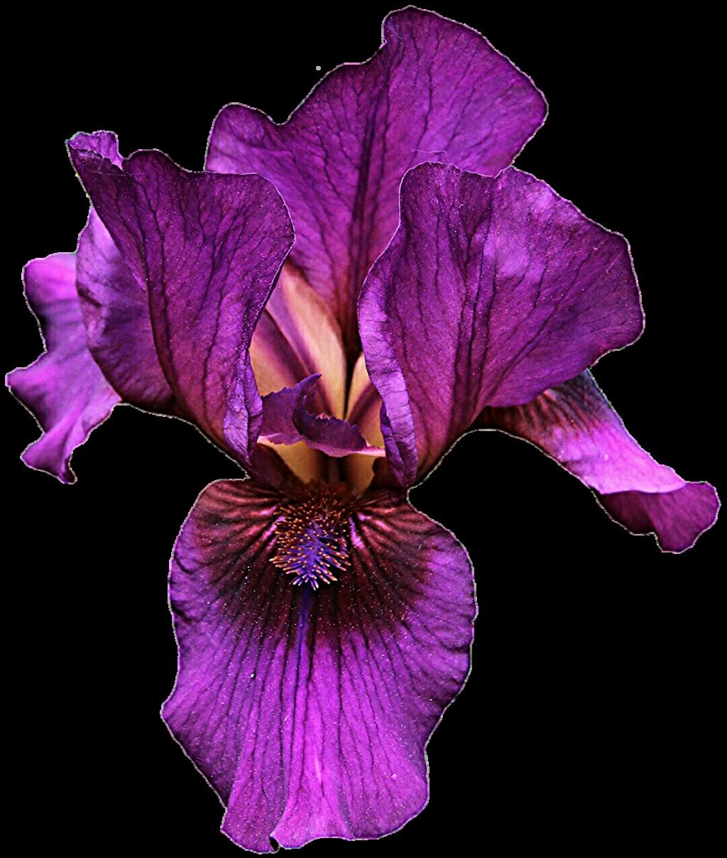 1024x1208 Iris Flower Png Hd Transparent Iris Flower Hd.png Images. Pluspng