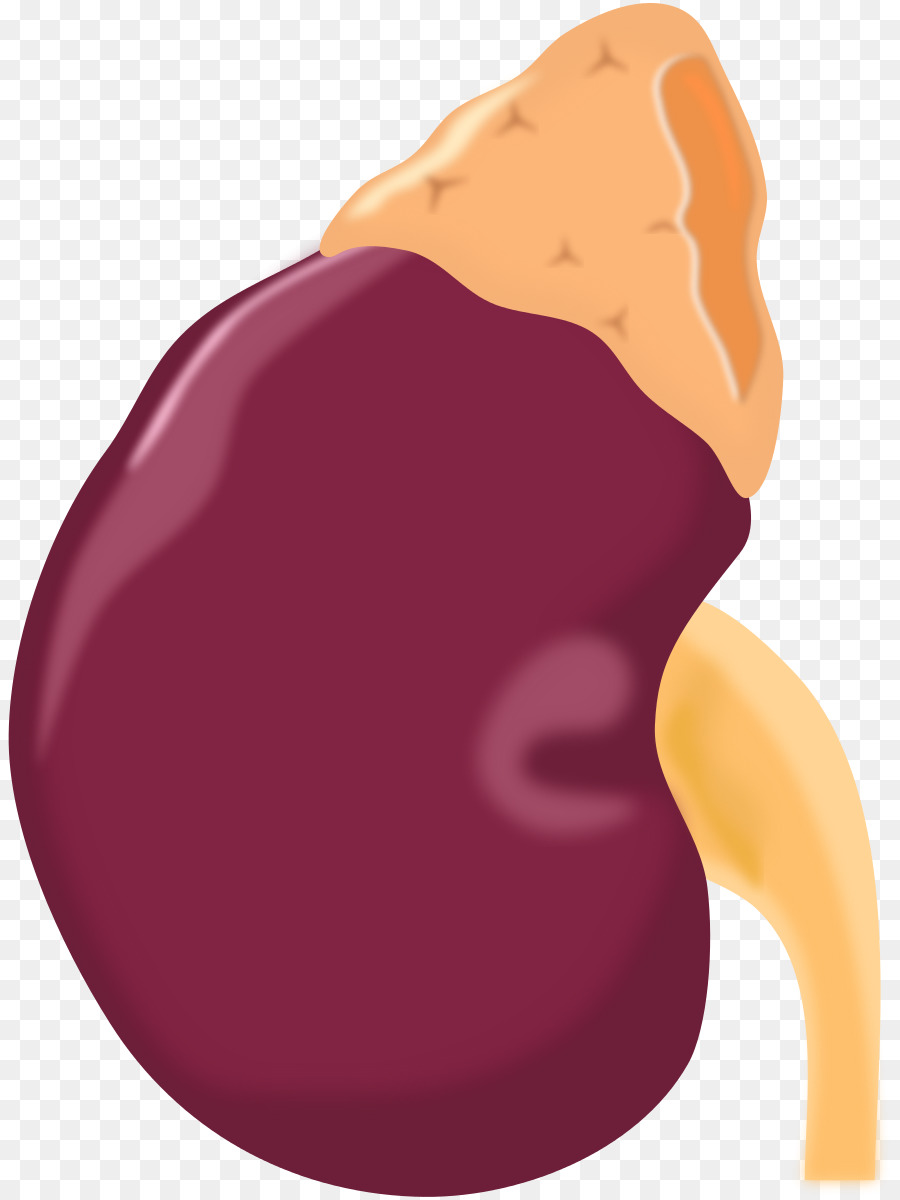 900x1200 Adrenal Gland Kidney Computer Icons Clip Art