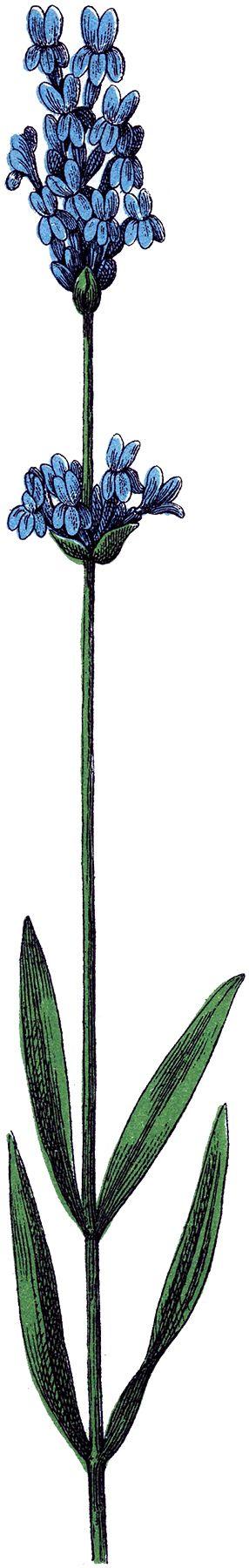 286x1800 Lavender Flower Clip Art Lavanda