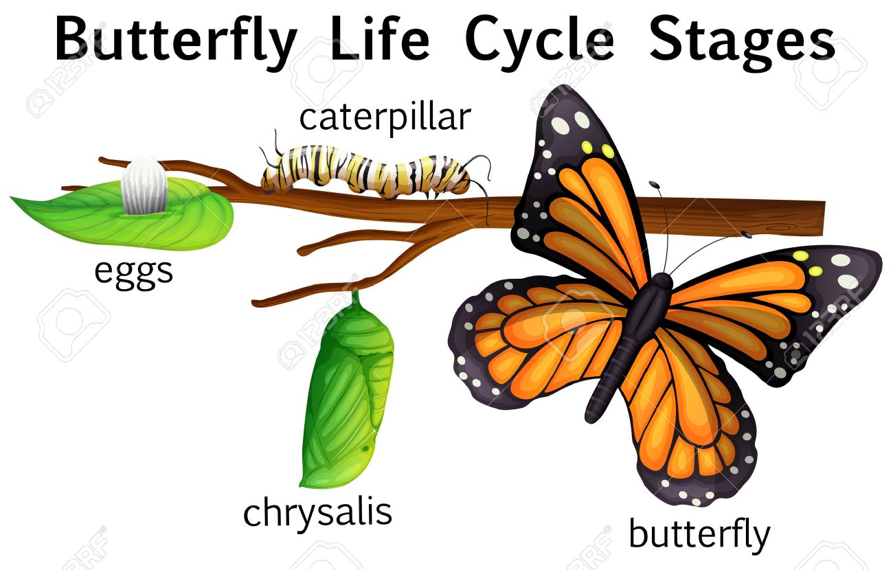 1300x830 Butterfly Cycle Clipart Life Free Clip Art By Kari Bolt Tpt
