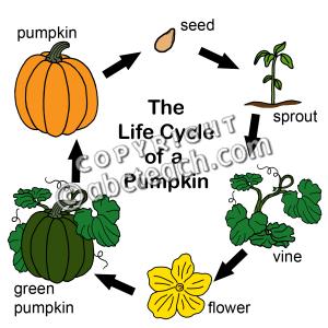 300x300 Pumpkin Life Cycle